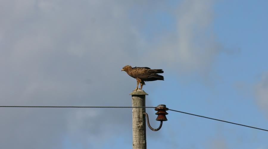 Top mazā ērgļa sugas aizsardzības plāns Latvijai