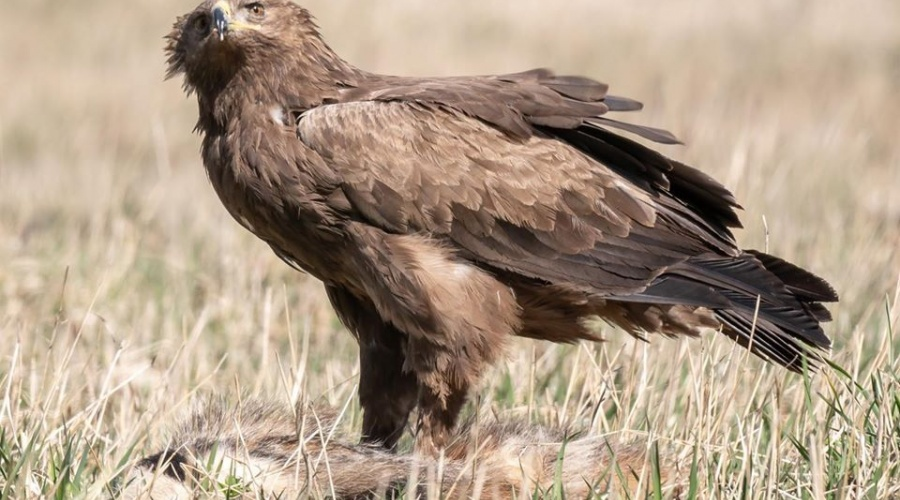 Kuja Nature Park – Restoration of Habitats Suitable for the Lesser Spotted Eagle