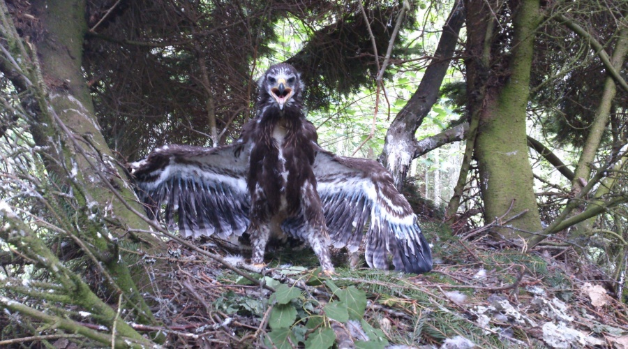 Species action plan for Lesser spotted eagle in Latvia has been approved