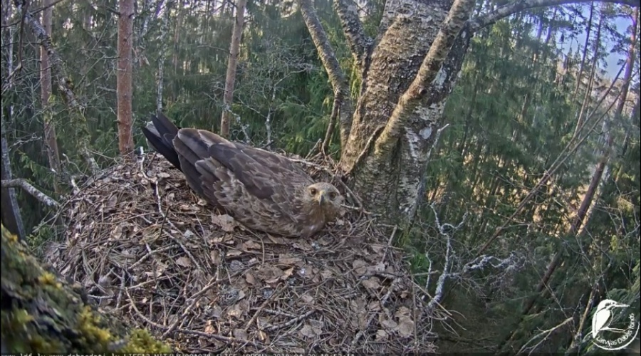 Webcam broadcasts 2019 from Lesser spotted eagle nests on air